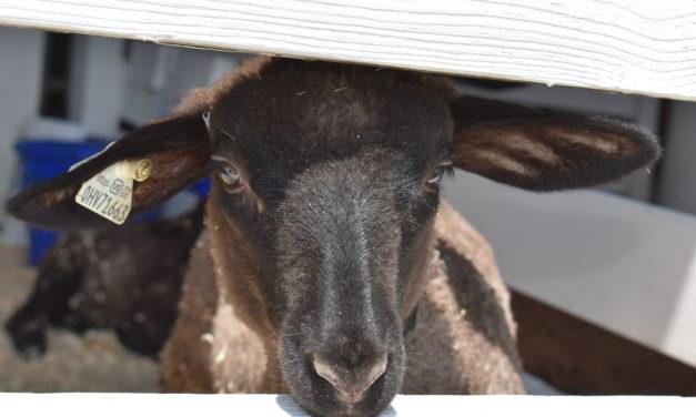 Trumbull's Best Sheperds upgrade fair's sheep barn